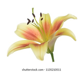 single yellow lily on white background