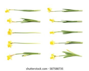 Single yellow narcissus flower lying on its side, composition isolated over the white background, set of ten different foreshortenings