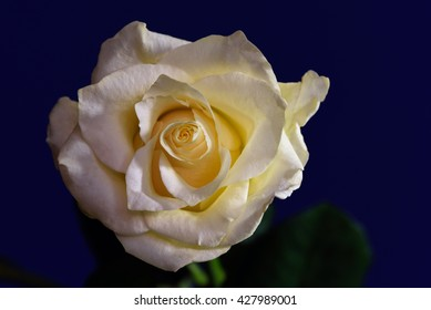 Single yellow rose against a royal blue background.
