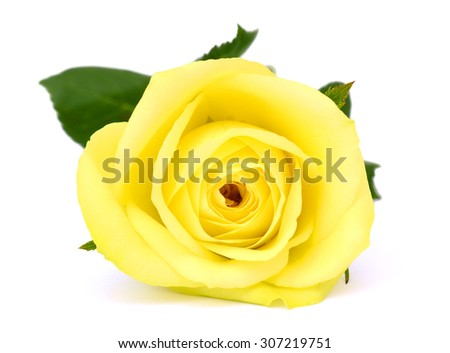 Single Yellow Rose Flower Isolated On Stock Photo Edit Now