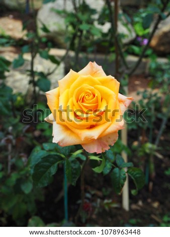 Single Yellow Rose Yellow Flower Leaves Stock Photo Edit Now