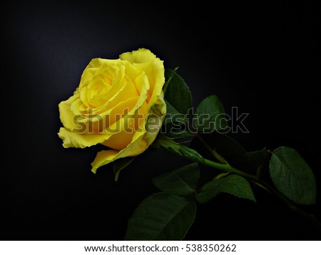 Single Yellow Rose Flower On Black Stock Photo Edit Now 538350262