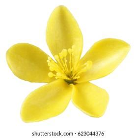 SINGLE YELLOW ST.JOHN'S WORT FLOWER ON WHITE