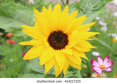 Single yellow sunflower in field with leaves and pink flower