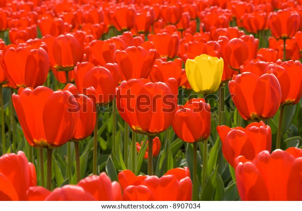 Single yellow tulip among field of red tulips