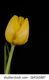 A single yellow Tulip bloom and stem isolated against a solid black background.