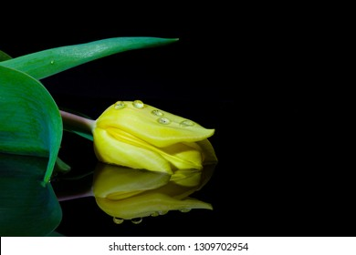 Single Yellow Tulip closeup reflecting on water - isolated on black