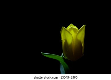 Single Yellow Tulip closeup with water drops isolated on black