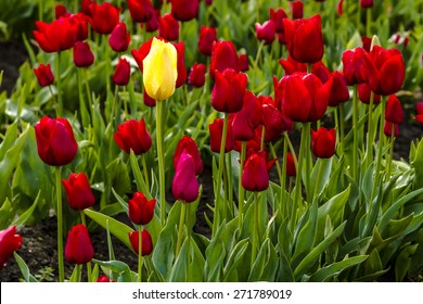 Single yellow tulip stem among red tulip stems in field on tulip farm