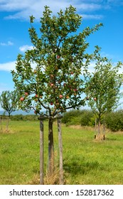 single young apple tree with apples