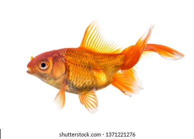Single young goldfish (Carassius auratus) in freshwater aquarium isolated on white background