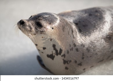 A single young harp seal lays on the cold Atlantic Ice off Newfoundland. The sun is shinning on the animals light color coat of fur with dark spots. The saddleback seal has its head up in the air.