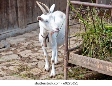 Single young white goat next to old feeder