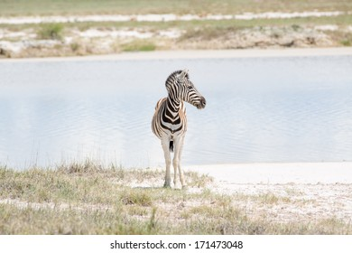A single young zebra standing by the water, looking sideways