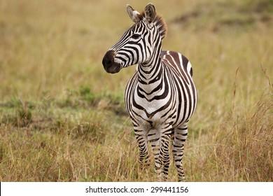 single zebra in the long grass