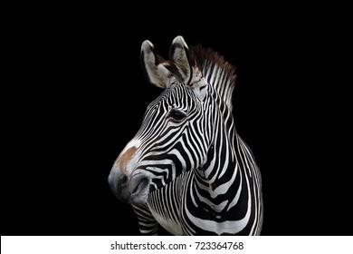 A single zebra on black background