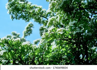 Single-seeded common hawthorn hedge with snow white blossoms and fresh green leaves growing at forest edge in middle Germany - Bavaria, Europe. Wild tree branch with blue sky in May spring sunshine.
