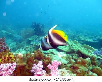 Singular Banner fish underwater, thailand