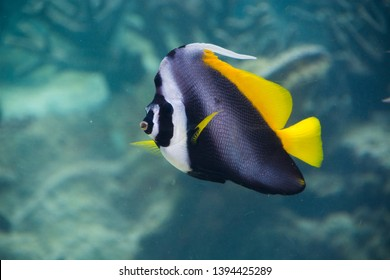Singular bannerfish (Heniochus singularius) is black, white and yellow big butterflyfish in Palau, Pacific