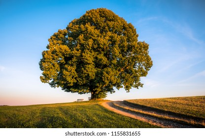 a singular lime tree on a green meadow during golden hour