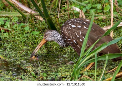 A singular Limpkin with its stunning brown and white patterned feathers finds its preferred food, the Florida Apple Snail, in swampy waters of a wetland