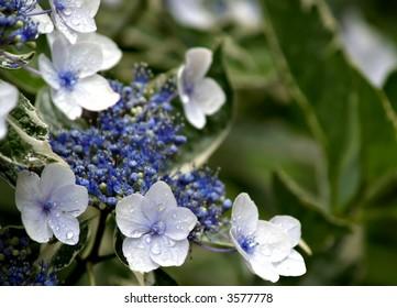 Singular white Hydrangea flowers with blue buds