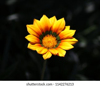 Singular yellow flower on a dark background closeup photo