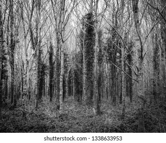 sinister forest in winter