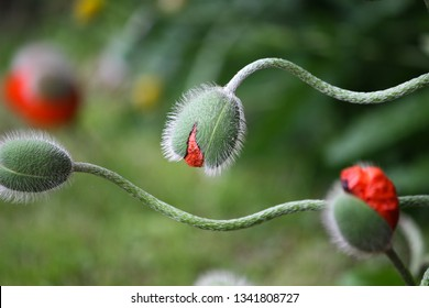 Sinuous green buds poppies