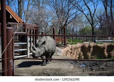 Sioux Falls, South Dakota, USA - 5/2019:  Eastern Black Rhinoceros walking forward at the Great Plains Zoo