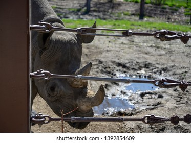 Sioux Falls, South Dakota, USA - 5/2019:  Eastern Black Rhinoceros at the Great Plains Zoo