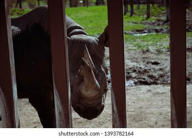 Sioux Falls, South Dakota, USA - 5/2019:  Eastern Black Rhinoceros at the Great Plains Zoo looking through bars