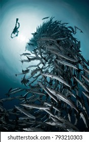 Sipadan Island, Malaysia, 11.01.2010, Barracuda Point, diver & big school of barracudas