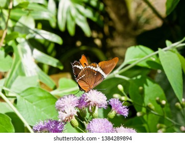 Siproeta epaphus on a Purple Flower