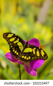 Siproeta stelenes butterfly on the orchid flower