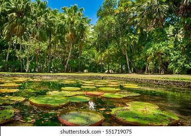 Sir Seewoosagur Ramgoolam Botanical Garden, Victoria Amazonica Giant Water Lilies, Mauritius