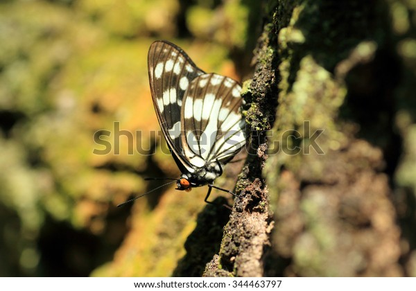 Bộ sưu tập cánh vẩy 4 - Page 6 Siren-butterfly-hestina-persimilis-japonica-600w-344463797