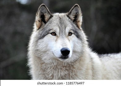 SIRIUS - FEMALE WOLF DOG