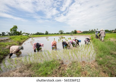 Sisaket, Thailand July 19 2016 : Farmers are planting the seedlings