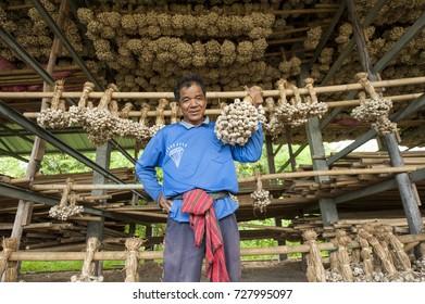 Sisaket ,Thailand - July 27, 2011 : Farmer hold garlic at farm in Sisaket Province ,Thailand