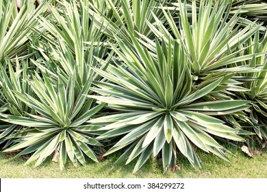 Sisal or Agave sisalana green leaves in a garden