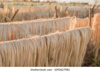 Sisal farming for extraction