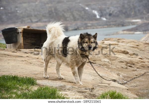 SISIMIUT,QEQQATA / GREENLAND - JUNE 12:  Greenland dog on a chain outside in the countryside, in Sisimiut, Greenland on the 12th June, 2013