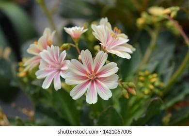 Siskiyou lewisia - Latin name - Lewisia cotyledon