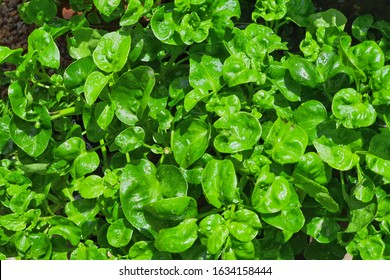 Sissoo spinach, also known as Brazilian spinach, It is a vegetable that beneficial to the body. Healthy food