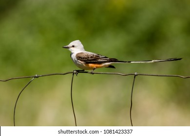 Sissor-tail Flycatcher on a wire fence