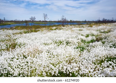 Site blossoming cotton-grass against trees and a reservoir