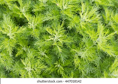Sitherwood (Artemisia abrotanum). It is used as a medicinal and spice plant.