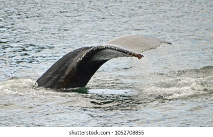 Sitka, Alaska. Fluke of humpback whale as it is in the process of diving.
