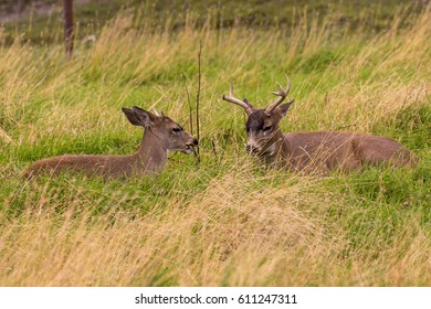 Sitka Blacktail Deer Bucks